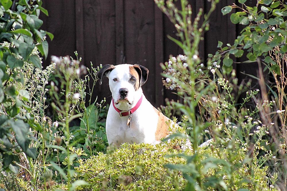Photo in Random #pitbull #dog #canine