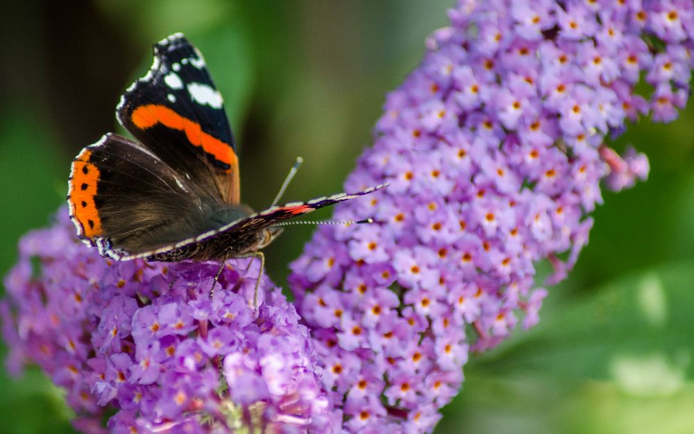 Photo in Nature #buddleia #flower #butterfly #lepidoptery #red admiral #nature #insects