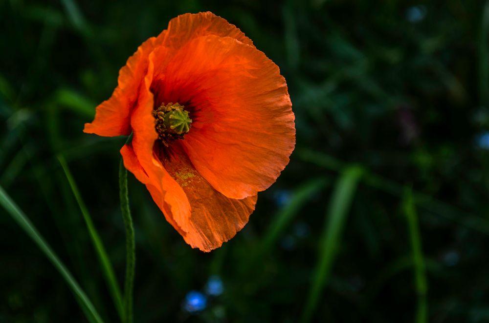Photo in Nature #flower #wild flower #nature #orange