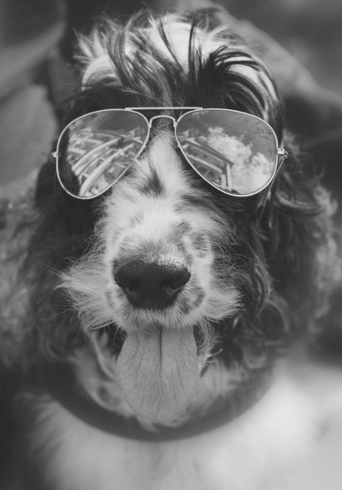 Photo in Black and White #coker #steppy #massimo pentinetti #cane #dog #glas #occhiali #gaffa #agent