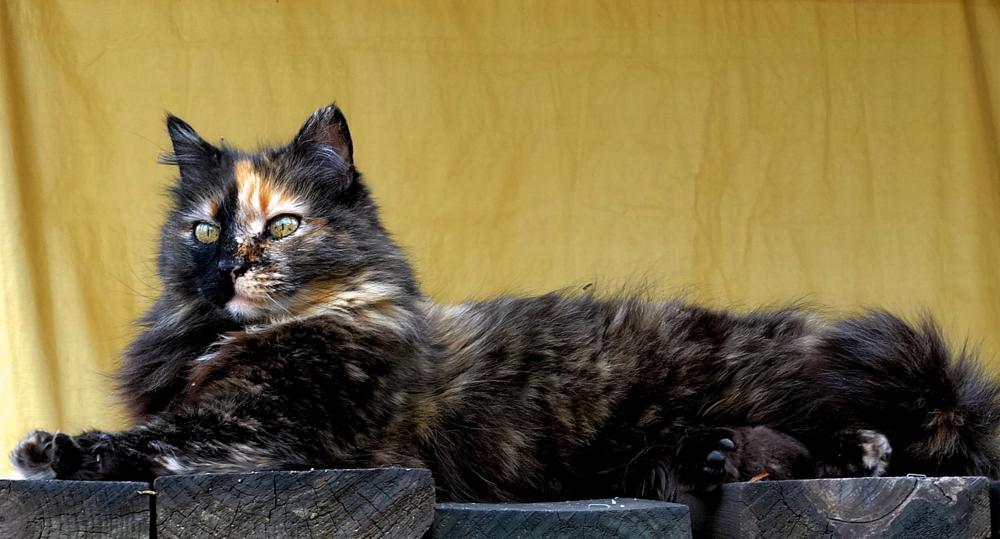 Photo in Animal #cat #calico #feral cat