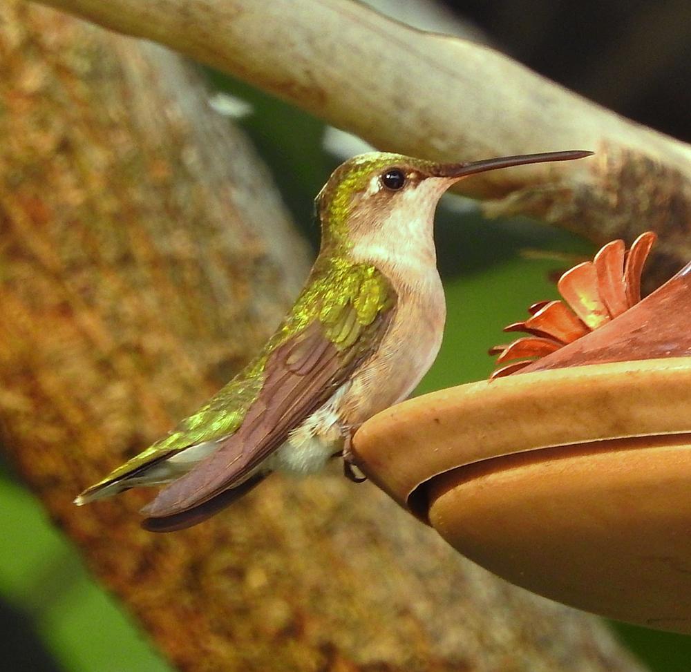 Photo in Animal #bird #hummingbird #bird feeder