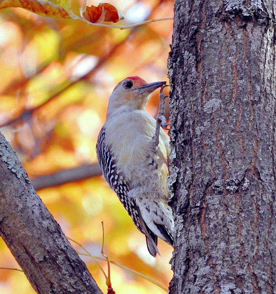 Photo in Animal #woodpecker #red-bellied #autumn