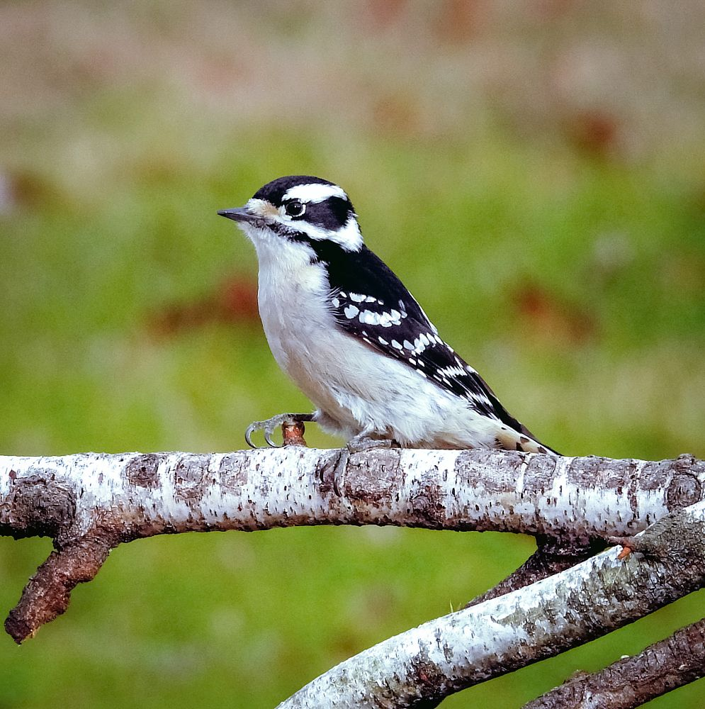 Photo in Animal #bird #downy woodpecker #birch #perched