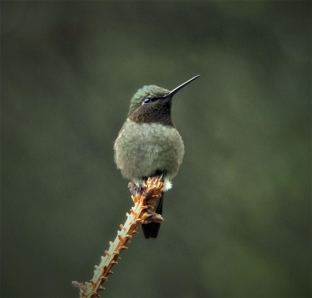 Photo in Animal #hummingbird #emerald #watching #guarding #bird #tiny #green