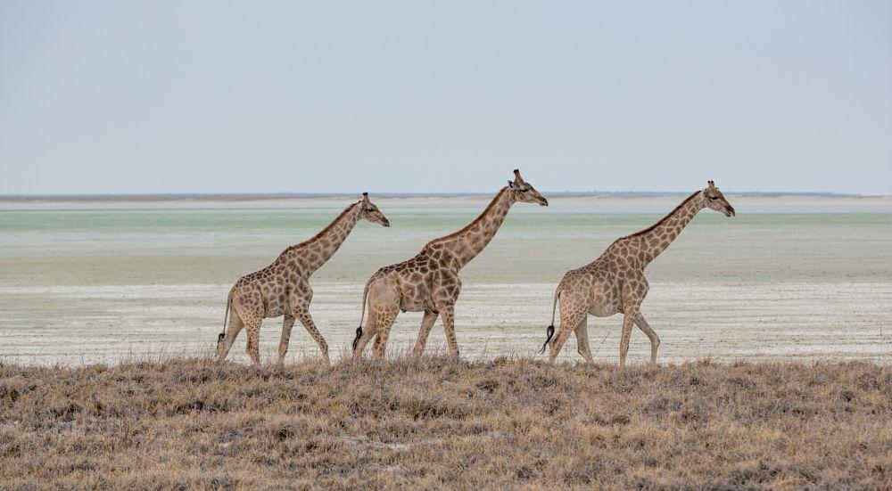 Photo in Random #giraffe #animal #wild animal #nature #claypan #dry #arid #africa #etosha #namibia