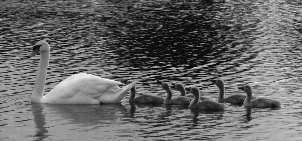 Photo in Random #b & w #swans #chicks #young #water #spornature #wildlife #feathers #white