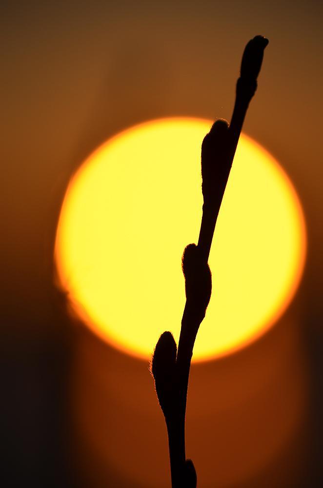 Photo in Nature #sunset #piteå #norrbotten #sweden #poppybuds