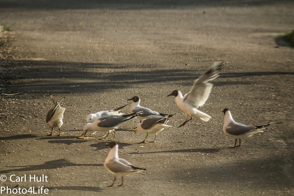 Photo in Animal #gulls #food #fight