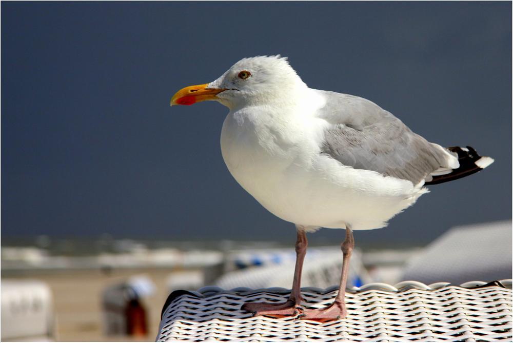 Photo in Animal #sea gull #north sea