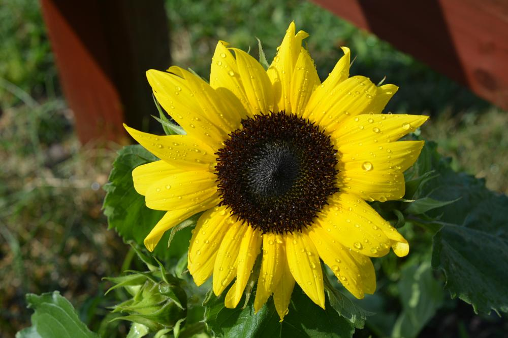 Photo in Nature #sunflower #flowers #gardens #plants #nature