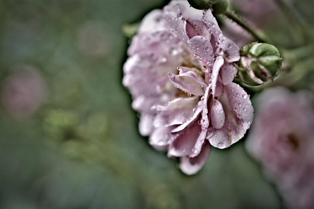 Photo in Nature #rose #plants #nature #flowers #gardens