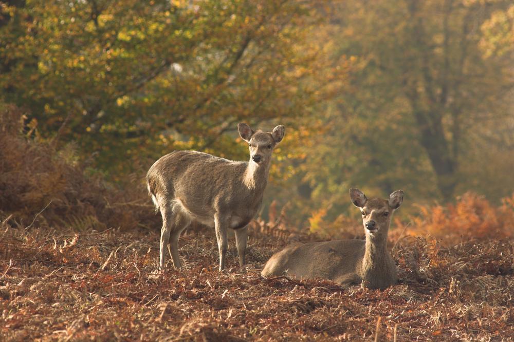 Photo in Random #deer #woodland #nature #park #autumn #fall