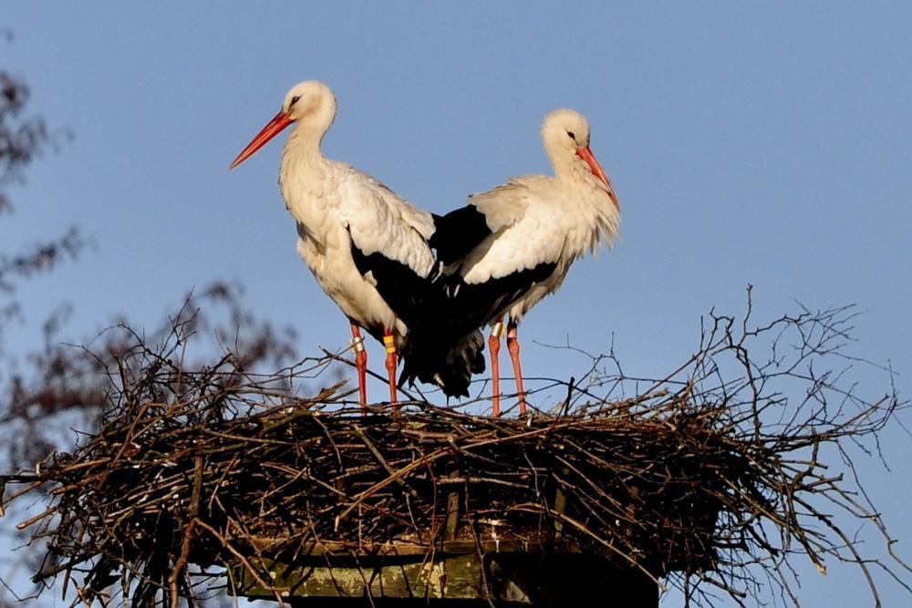 Photo in Nature #vit stork #ciconia ciconia #birds