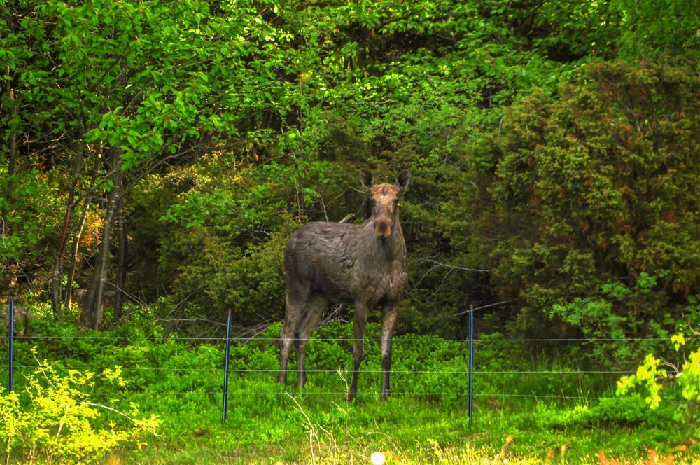 Photo in Nature #älg #elk moose #moose