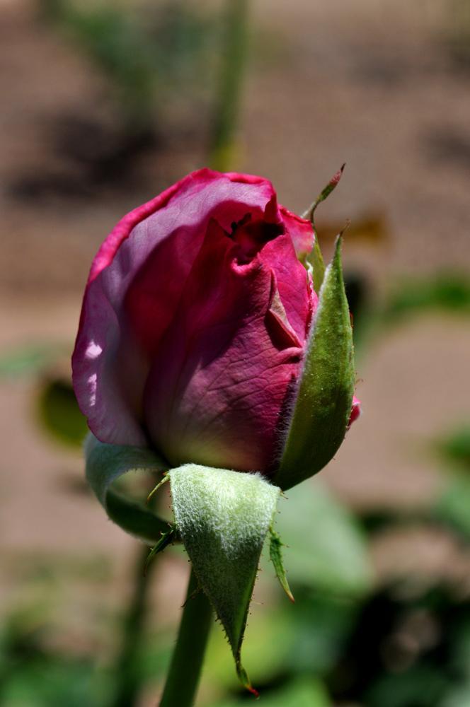 Photo in Macro #macro #flower #rose