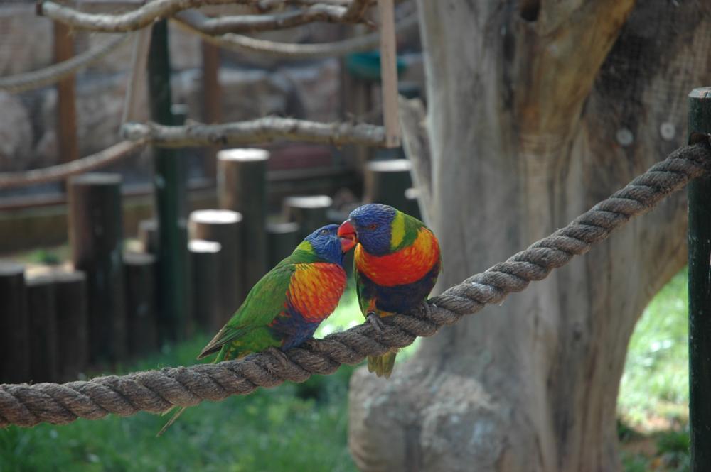 Photo in Animal #kiss #birds #parrot
