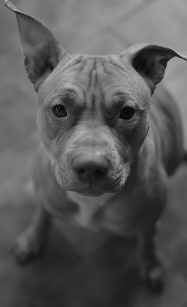 Photo in Animal #animal #dog #b&w #portrait #close-up