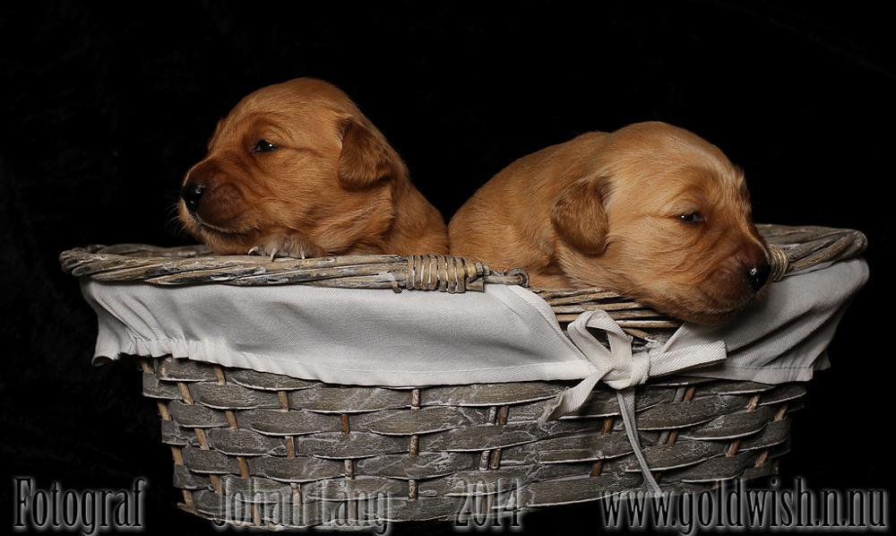 Photo in Animal #golden #puppy #dog #retriever #studio #goldwish