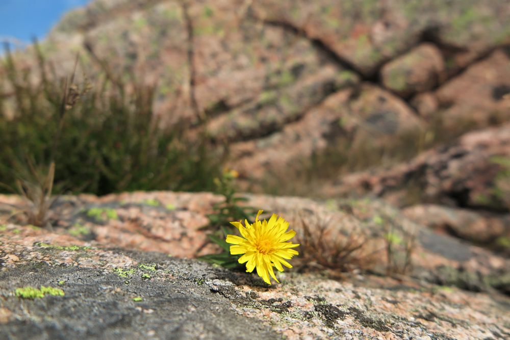 Photo in Nature #dandelion #summer #bohuslän #cliffs #crack #yellow