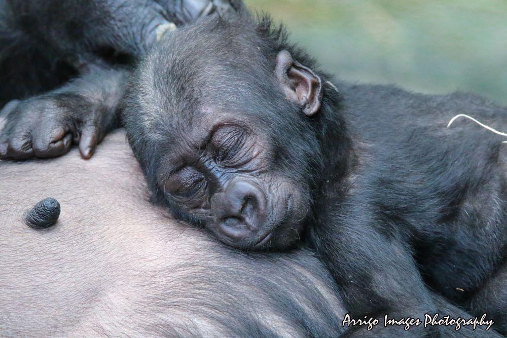 Photo in Animal #zoo #animal #monkey #ape #gorilla