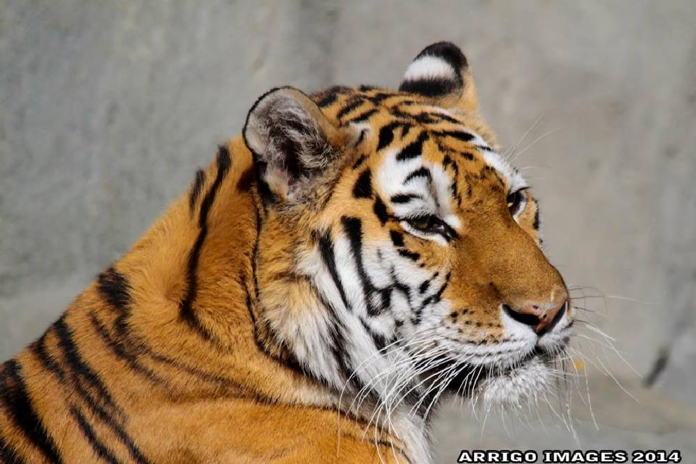 Photo in Animal #zoo #cat #tiger