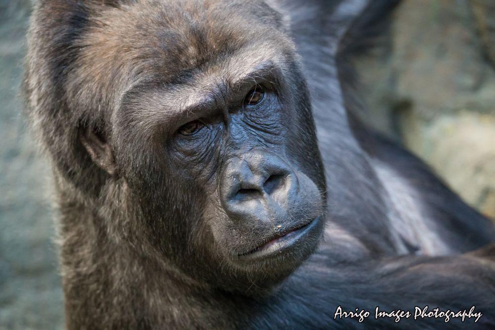 Photo in Animal #zoo #animal #gorilla #monkey