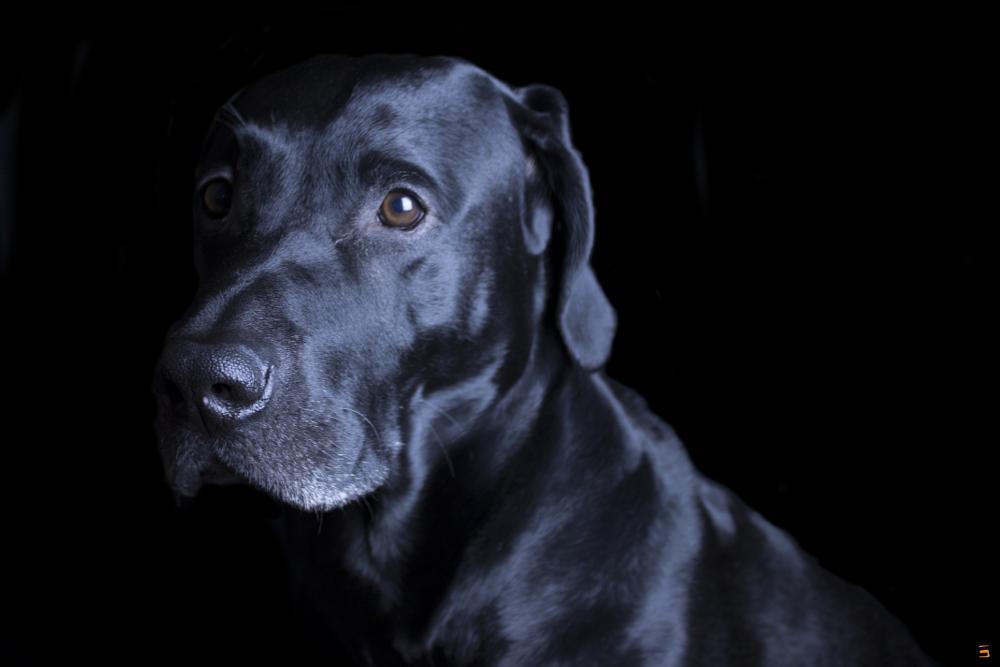 Photo in Animal #black black lab lab dog