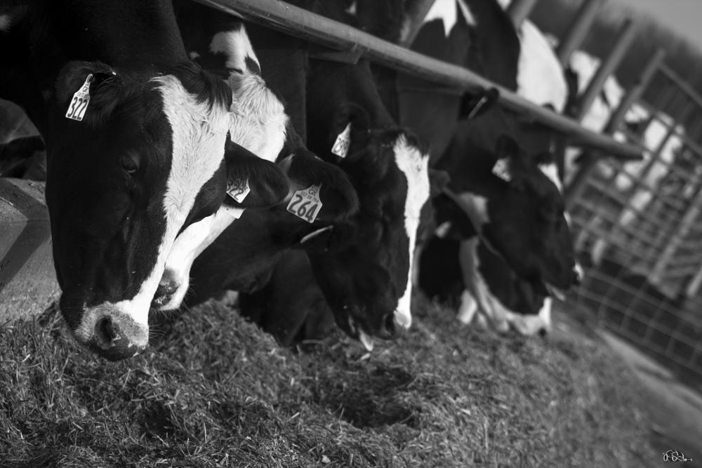 Photo in Animal #gotmilk cow