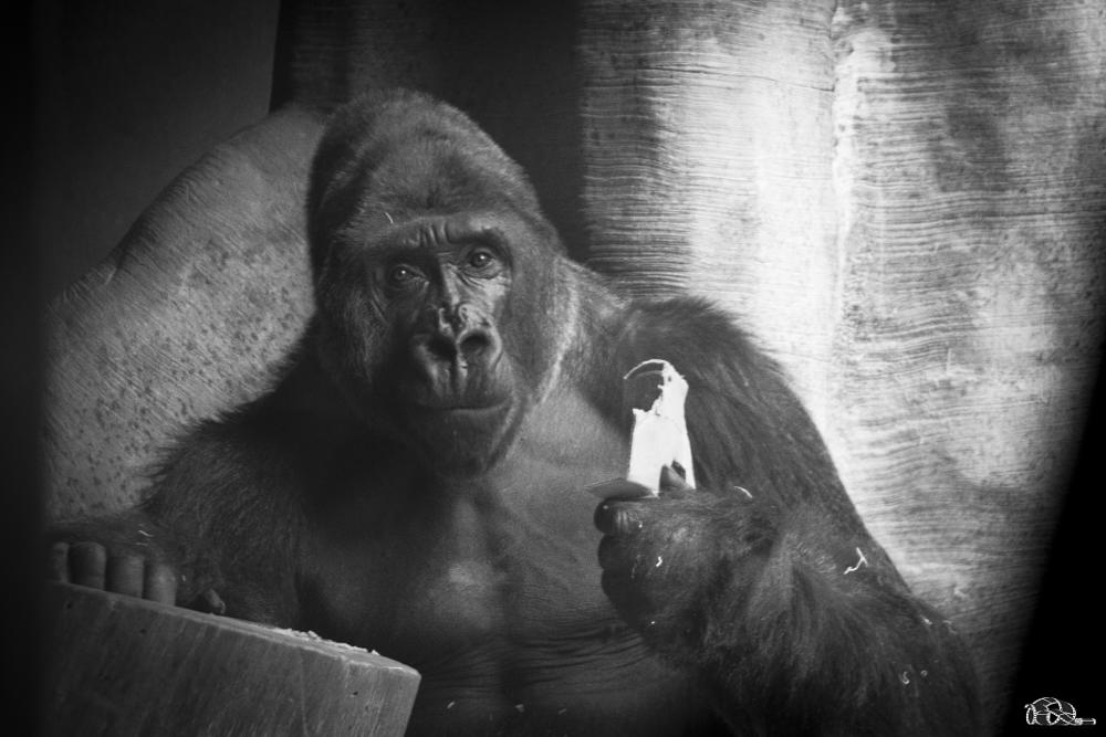 Photo in Animal #zoo ape silverback silver