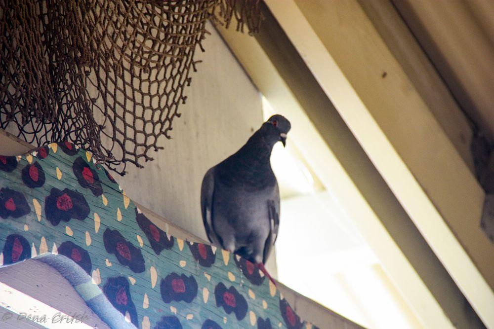 Photo in Macro #bird #pigeon #macro #nature #wildlife