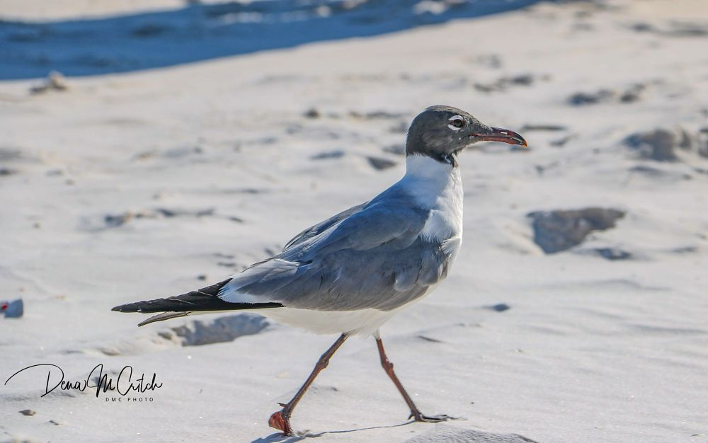 Photo in Nature #seagull #thingsyousee #beauty #seaandsand #wonder #sands #waterbird #animal #wildlife #nature