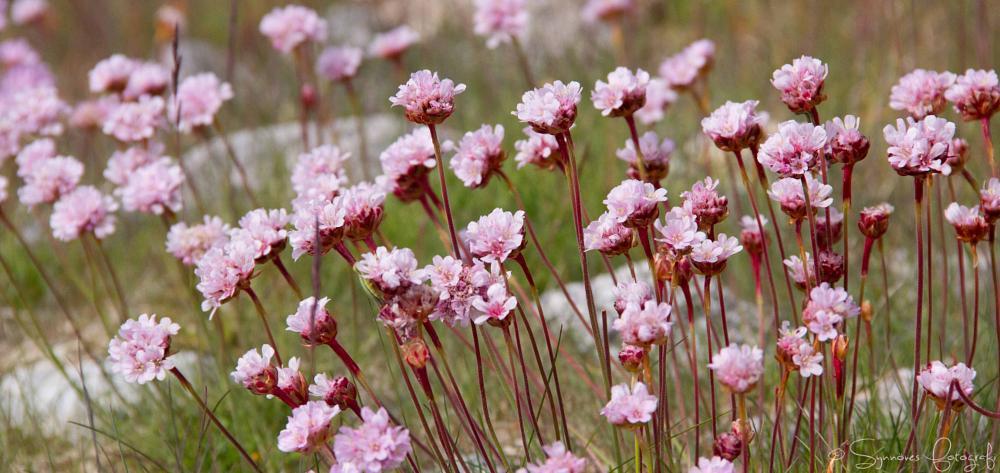 Photo in Nature #flower #beutifuk flower #lofoten #norge #norway #strandnellik #fjærekoll #armeria maritima #shoreline