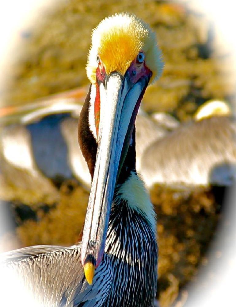 Photo in Animal #pelican #cove #la jolla