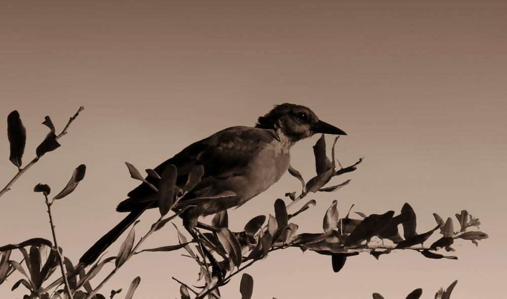Photo in Nature #mocking bird #florida