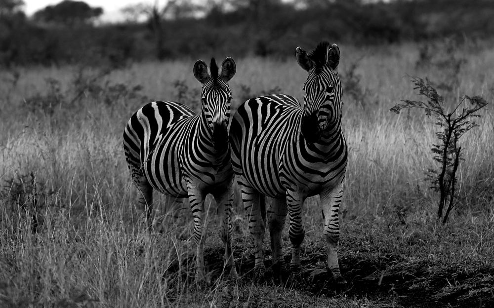 Photo in Animal #zebra #south africa