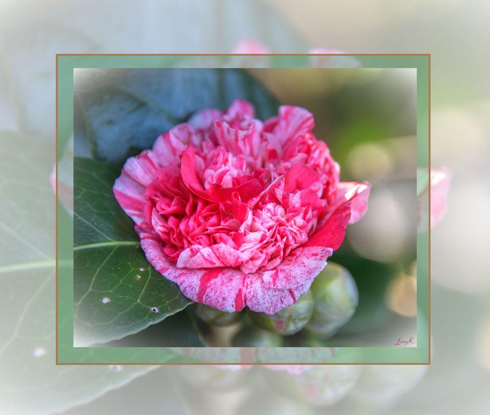 Photo in Macro #camilla #christchurch #new zealand #flower #autumn