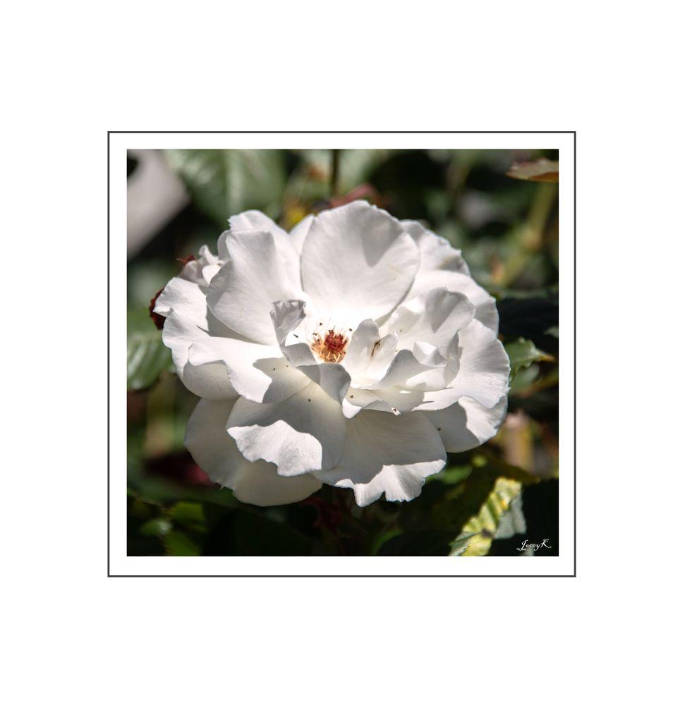 Photo in Macro #rose #akaroa #flower #nz