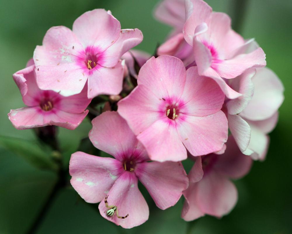 Photo in Macro #pink flower