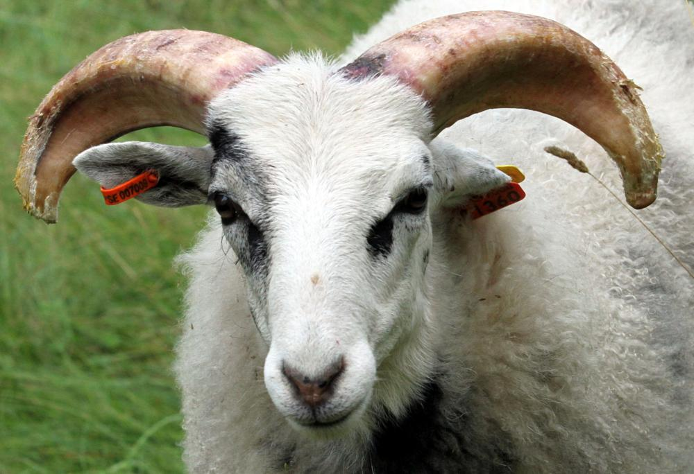 Photo in Animal #ram