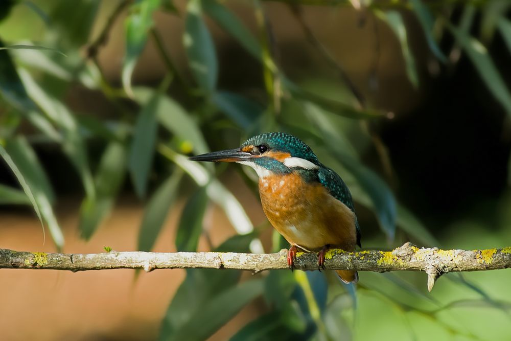 Photo in Nature #kingfisher #wildlife #pentax #denmark