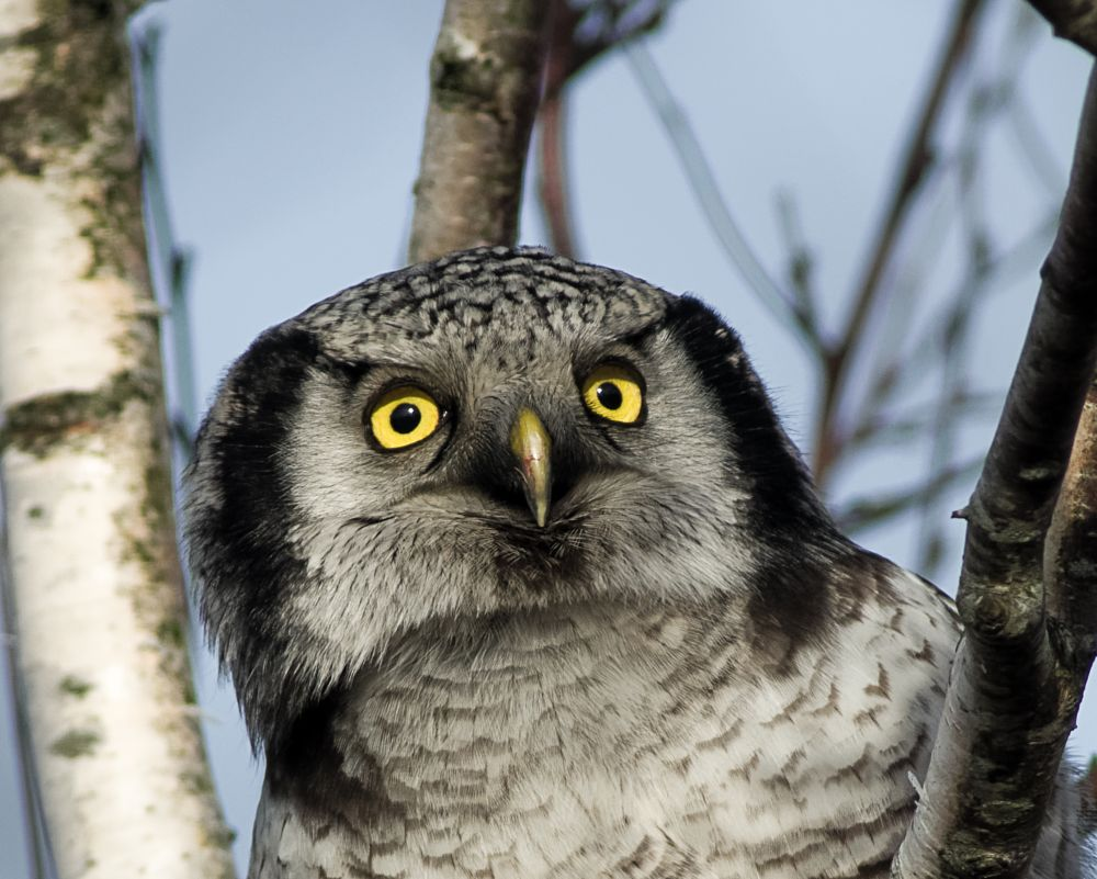 Photo in Animal #pentax #danmark #owl