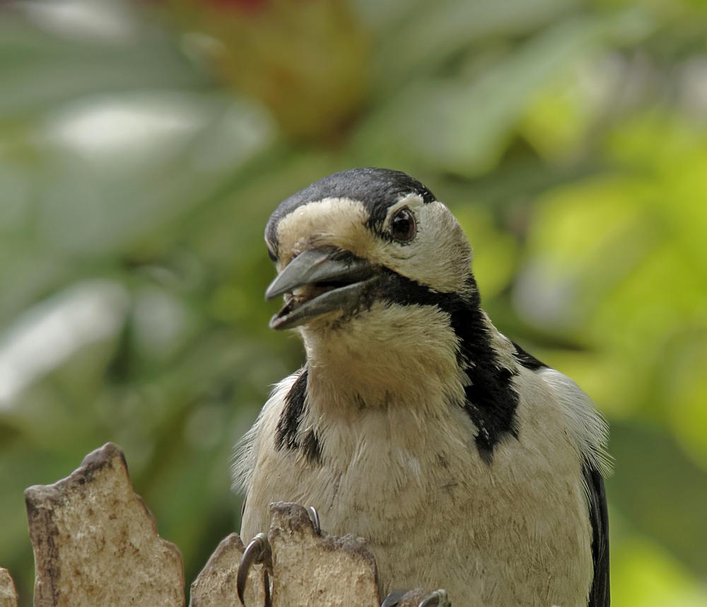 Photo in Animal #woodpecker #denmark #pentax