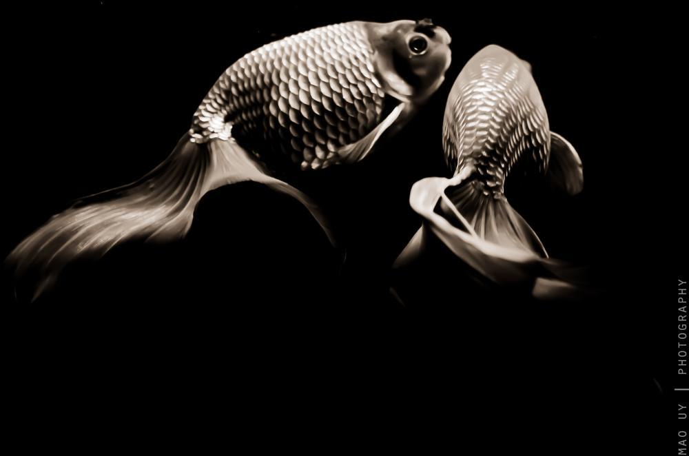 Photo in Animal #fish #goldfish #fins #pets #aquarium #photography #underwater #notunderwater #animal