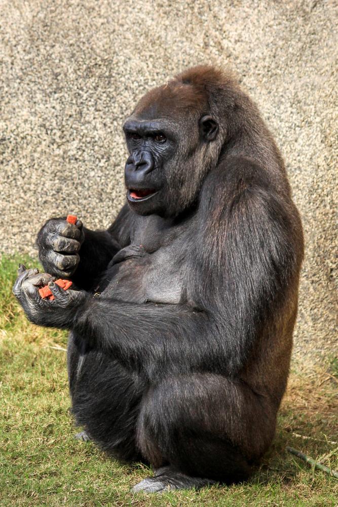 Photo in Animal #silver-back gorilla