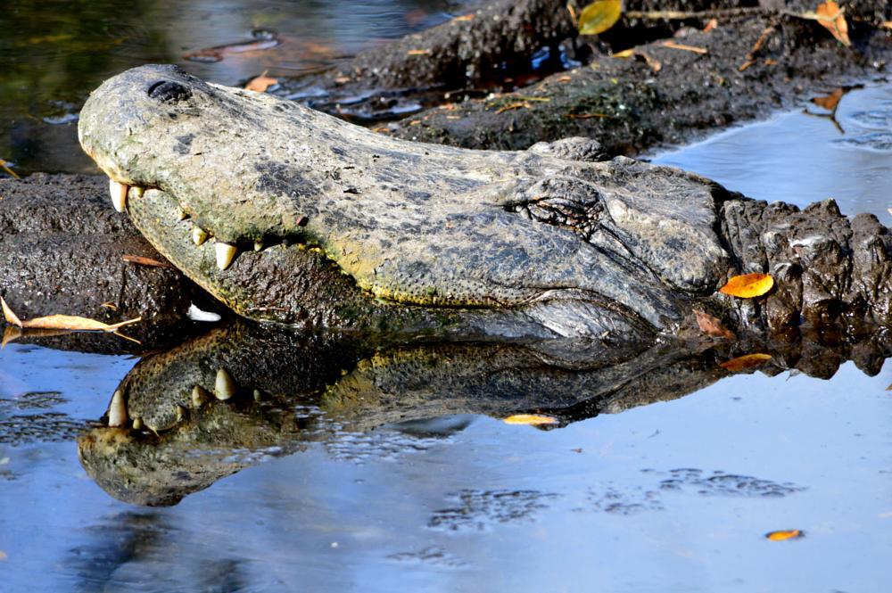 Photo in Animal #wildlife #apex predator #alligator