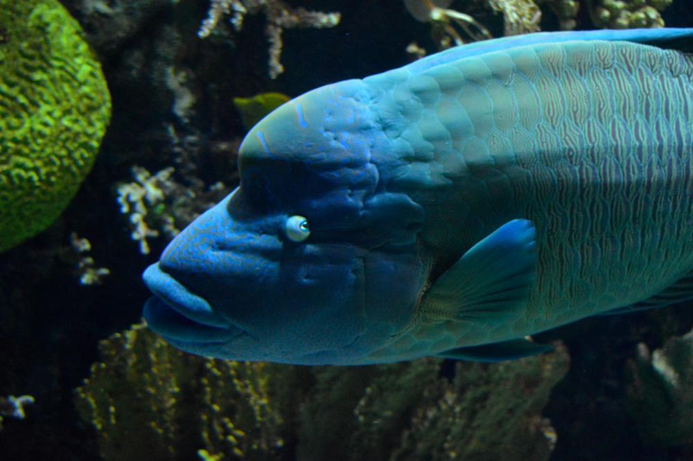 Photo in Animal #wildlife #fish #humphead wrasse