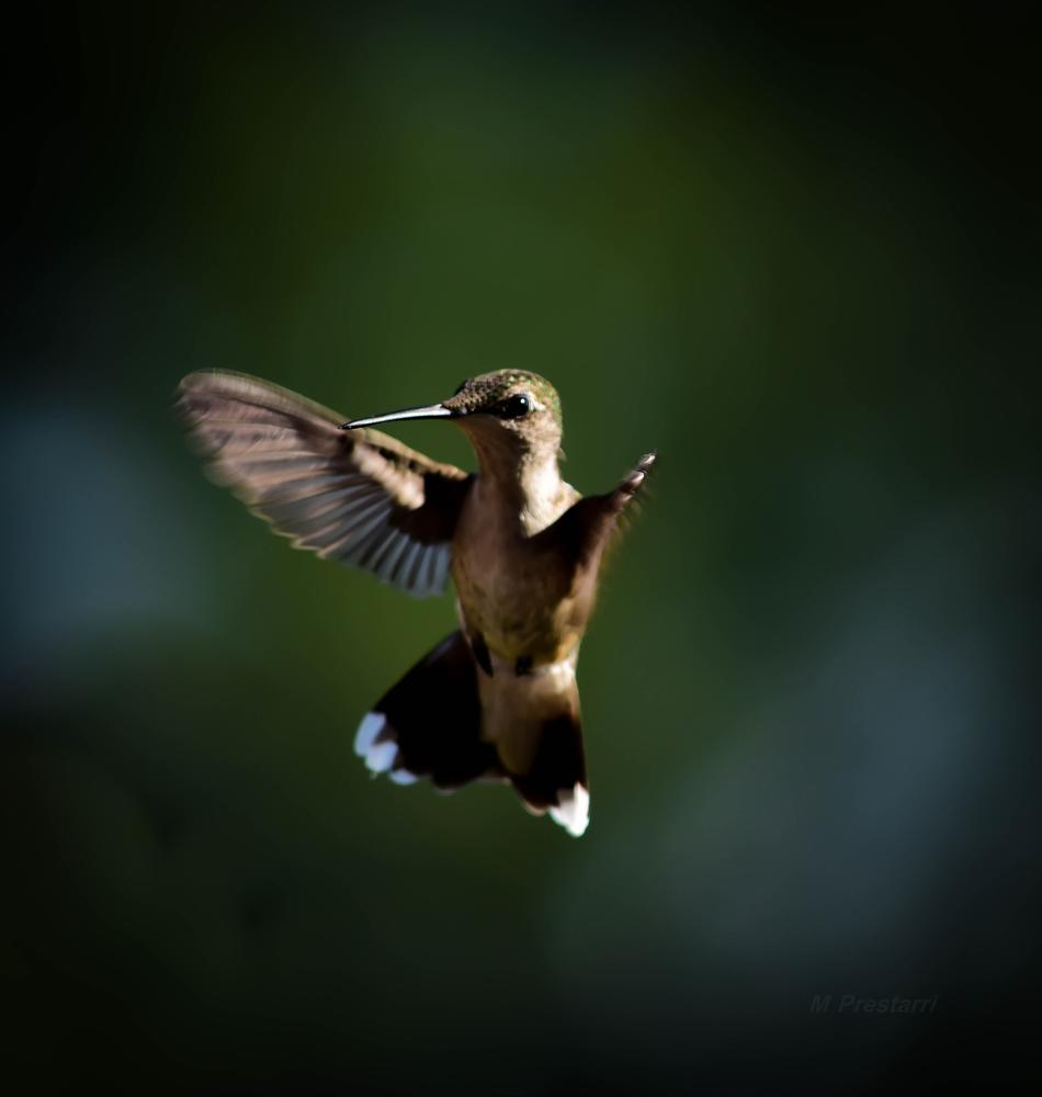 Photo in Animal #hummingbird #nature #wildlife