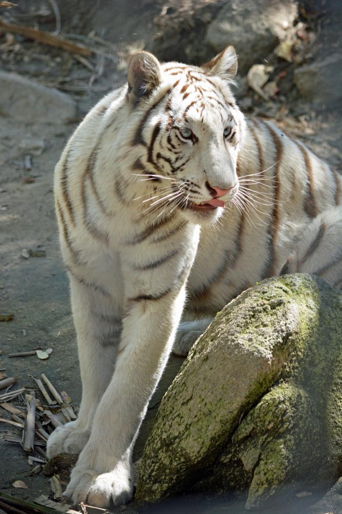 Photo in Animal #white tiger #cat haven #survival #endangered species