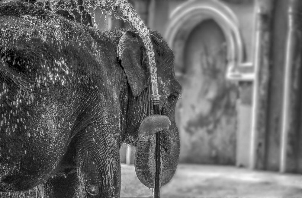 Photo in Black and White #outdoor #zoo #köln #black and white #elephant #jan degen